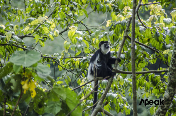 Uganda's Black and White Forest Monkey.
